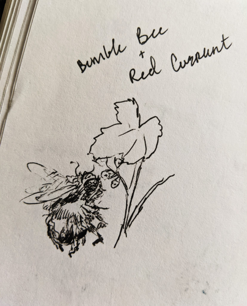 bumble bee sniffing a red currant flower