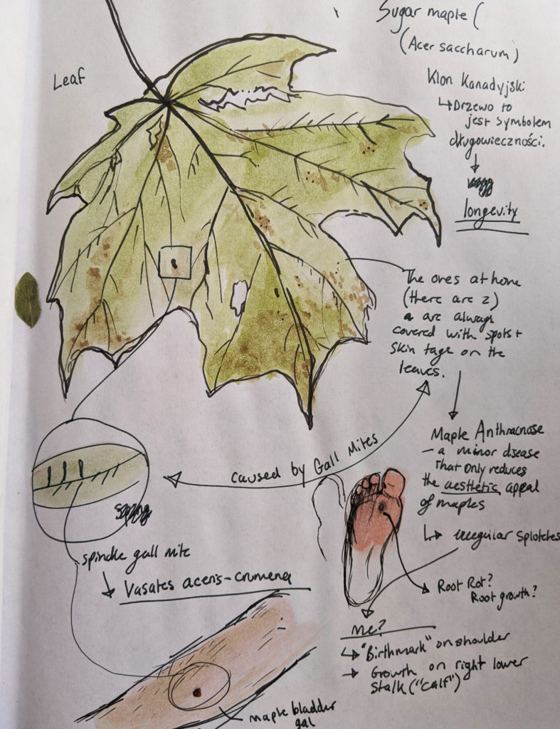 a visual analysis of sugar maple leaves